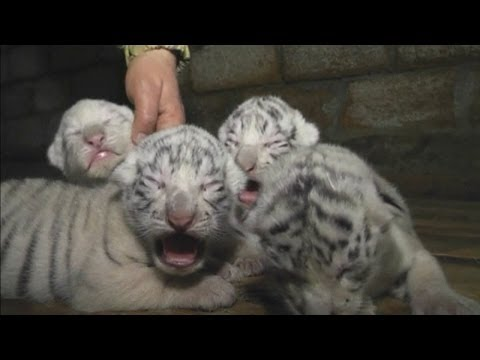 Cute! Four rare white Bengal tiger cubs born at Yalta Zoo