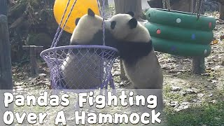Pandas Fighting Over A Hammock | iPanda