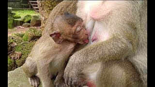 Mom I need milk coz i am so hungry if mom No i will cry loudly if Ok i will be obedience baby monkey