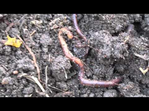 рыбалка как правильно разводить червей