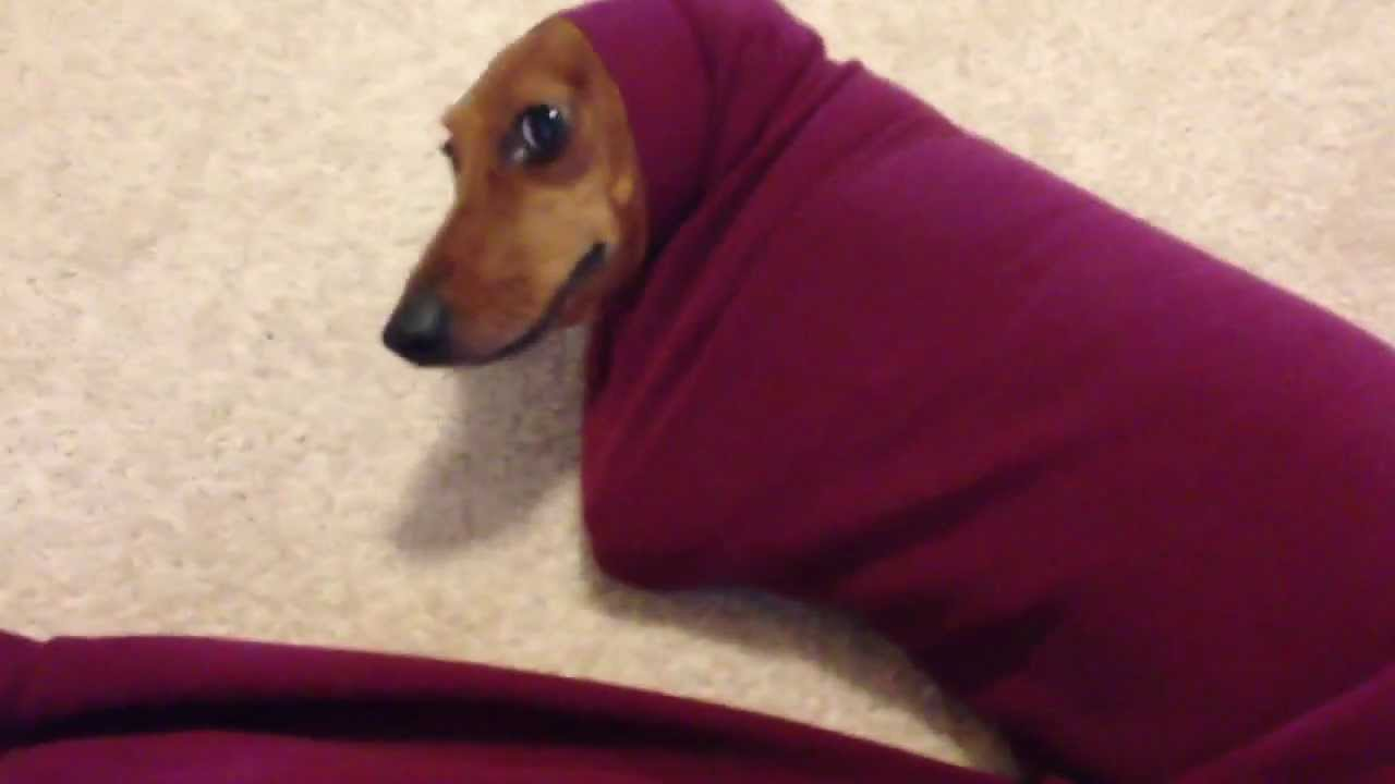 Cute Dachshund Gets Stuck In A Sweater Youtube