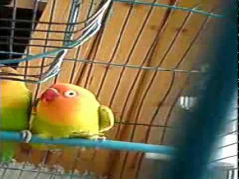 Tańcząca papuga