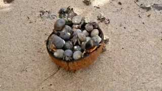 Hermit Crabs Eating a Coconut