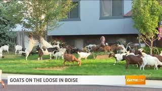 Goats get loose in Boise, Idaho, neighborhood