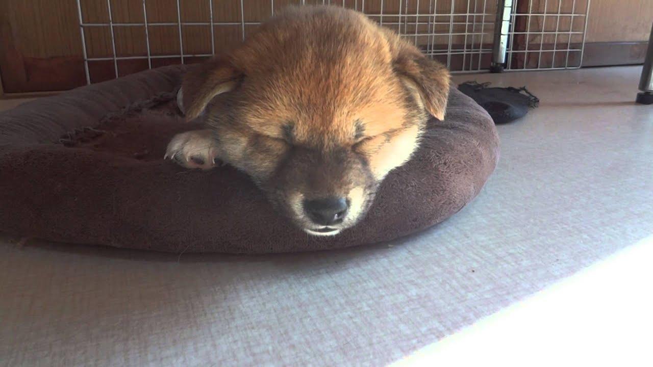 柴犬 子犬 寝顔