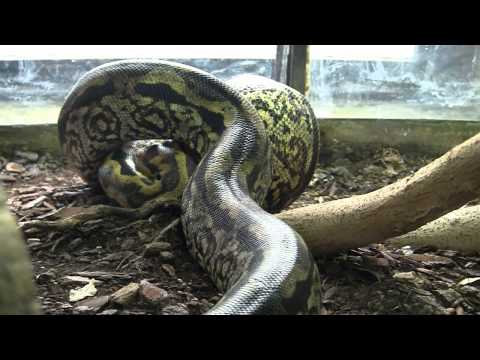 A monster snake vs a rat (piton, python, boa, serpiente, serpent, had). Удав пожи�ае� к����.