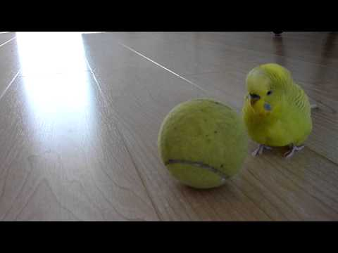 Budgie Balancing Trick