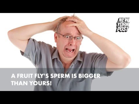 A fruit fly's sperm is bigger than yours!