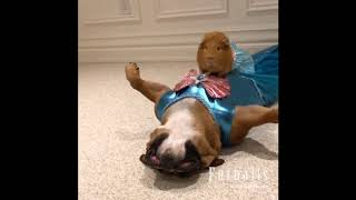 Bull Dog and Guinea Pig Channel Their Inner Mermaid