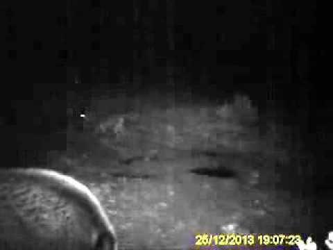 Comedero de Jabalíes con Lobos - increíble!!