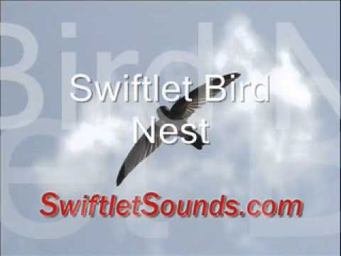 Swiftlet Sounds Bird Nest External Sound video