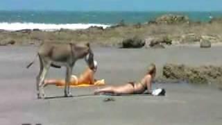 burro quiere en la playa sexo con mujer