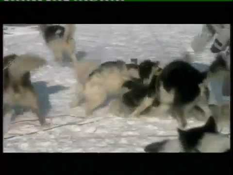 Wolves Attack Humans and Sled-dogs (test , intimidation & valuation )