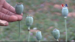 Tình trạng nghiện ma túy ở vùng trồng thuốc phiện của Myanmar