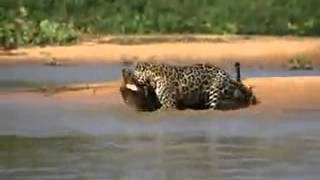 Jaguar vs Crocodile_ Jaguar attacks Crocodile . Crocodile vs Jaguar fights ..
