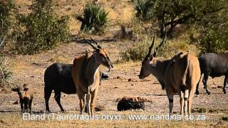 Eland at Klopperfontein waterhole Kruger Park