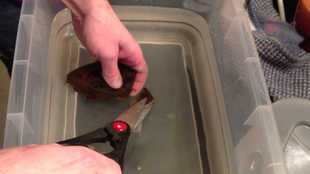 [Giving A Baby Bamboo Shark A Helping Hand] Video