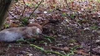 Stoat emerges from hole to drag rabbit down its hole