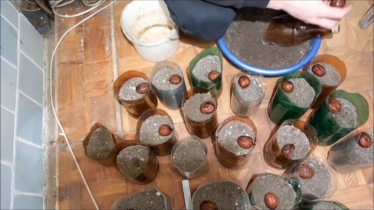 Выращивание грецкого ореха из семян быстрым методом часть 1 320