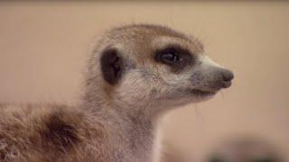 (5.65 MB) How to Speak Meerkat | BBC Earth Mp3