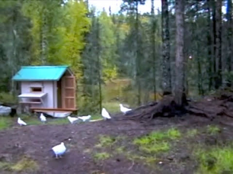 White wings of Alaska - Homing Pigeons