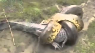 Anaconda vs Crocodile