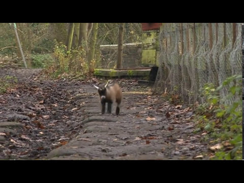 Cute baby Benjamin the orphan pygmy goat in Yorkshire England