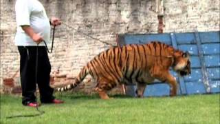 Tiger walking - Tigre passeando