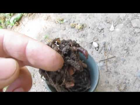 как выкопать червей для рыбалки