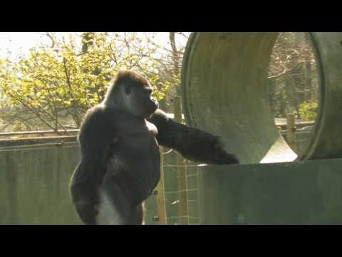 AMBAM The Gorilla that stands, walks, Swaggers & TWERKS like a MAN!