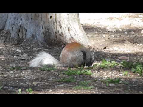 North Kaibab Squirrel, Grand Canyon NP
