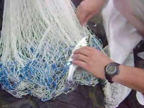 Pesca de robalo con atarraya en Cojimies - Ecuador