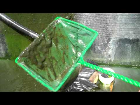 Feeding Plankton and Zooplanton to Tilapia and Crawfish. Home grown fish food