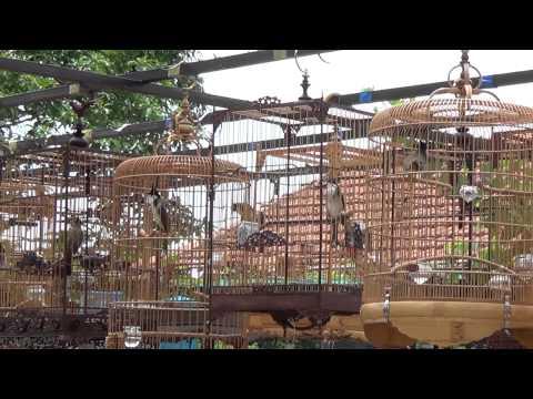 Hội Thi Tiếng Hót Chim Chào Mào Huế Mở Rộng Lần Thứ 2 (vòng Loại Chọn Top 10) video