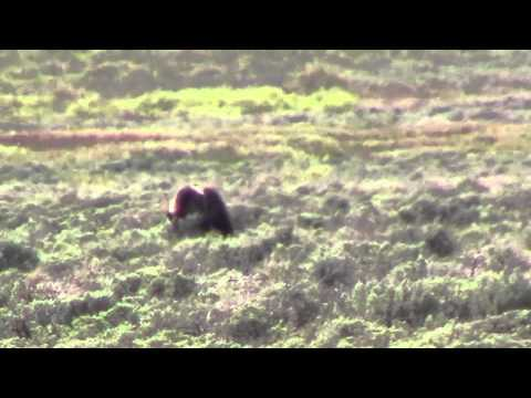 Swan Lake Flats - Grizzly Bear - Yellowstone - June 2013