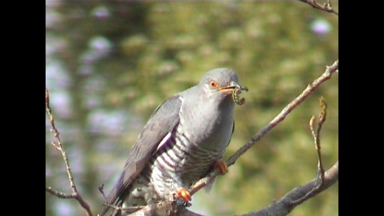 Le coucou l 39 oiseau invisible youtube for Photo oiseau