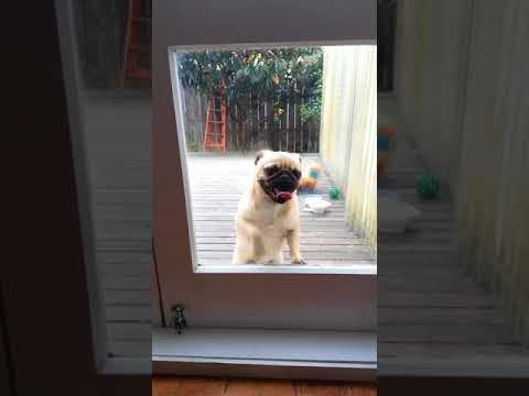 Pug amateur boxing and licks glass door to be let in
