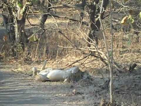 Sasan Gir Asiatic Lion Roaring. video