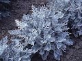Get to Know Dusty Miller - Sun-Loving Plants