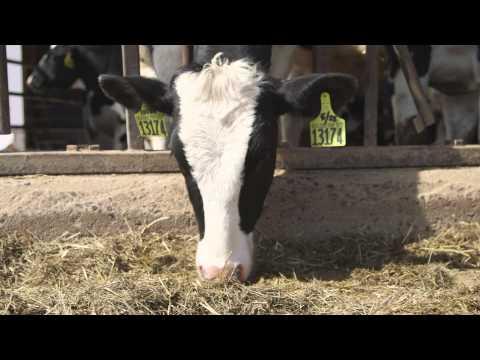 Chaput Farms Improves Herd Genetics with CLARIFIDE