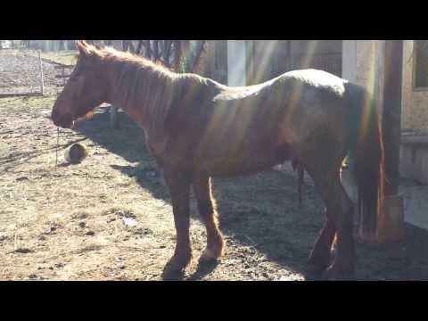 Ló veszetség (horse rabies, бешенство у коня)