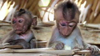 What to do? I do not know what happens to monkey DoDo | Tv Daily