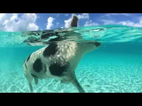 Reisen und Entertainment Bahamas Schweine