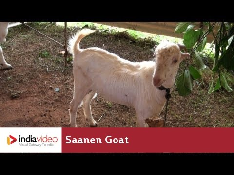 Saanen Goat -- a goat breed from Switzerland