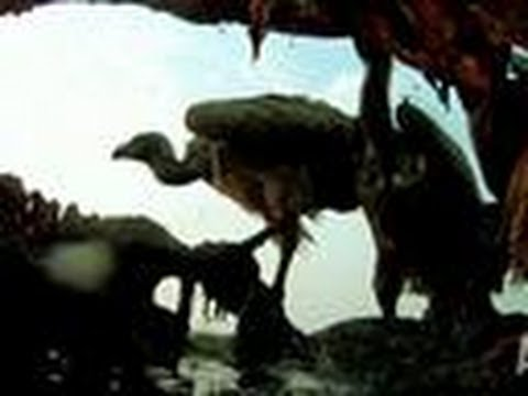Animals Feed on Hippo Carcass | Eating Giants: HIppo