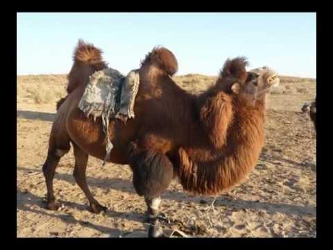 04-UZBEKISTAN__Camellos lago Aidarkul.mpg