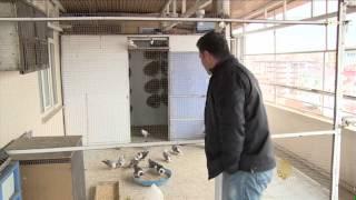 تربية الحمام في مدينة ديار بكر التركية