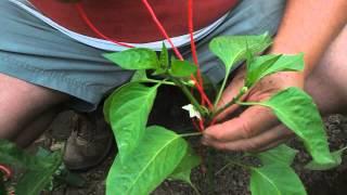 Paprika metszése és felkötözése