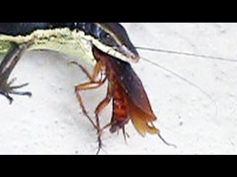 Lizards Eat Roaches Lizard Eating a Cockroach