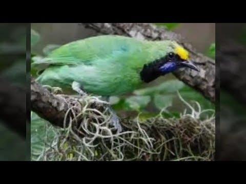 Habitat Asli Cucak Ijo Di Alam Liar   Beginilah Karakternya Di Alam